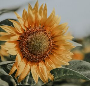 Picture of a yellow sunflower